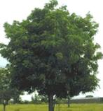ニームの木
